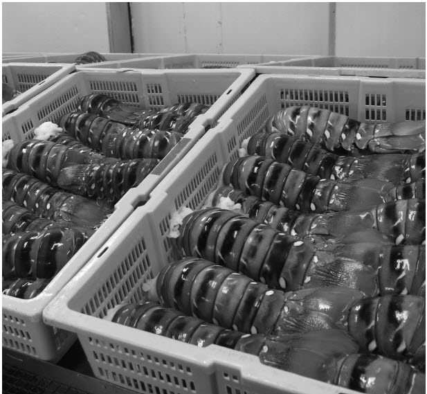 a photograph of cases of tropical rock lobsters