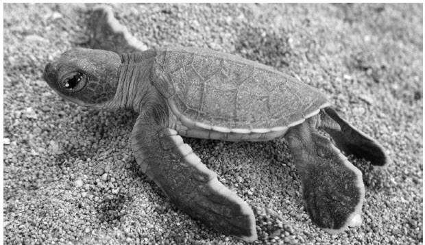 a photograph of a Green Turtle hatchling