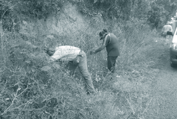 TSC and TSIRC staff removing juvenile weeds