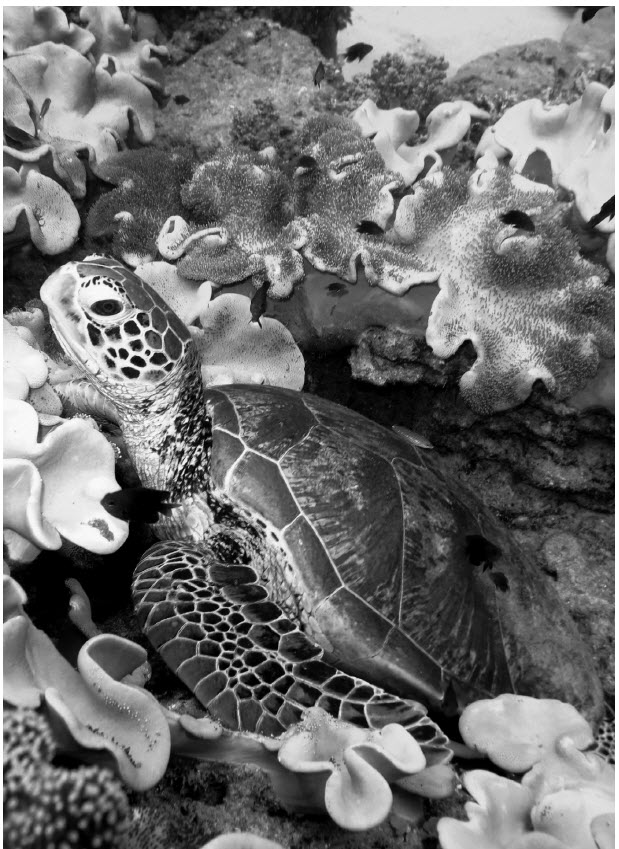 a photograph of coral reefs of the Torres Strait are a natural habitat for the green turtle